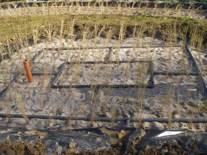 VerticalCW-Phragmites.jpg