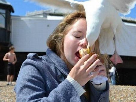Why do Seagulls eat Cornish Pasties?