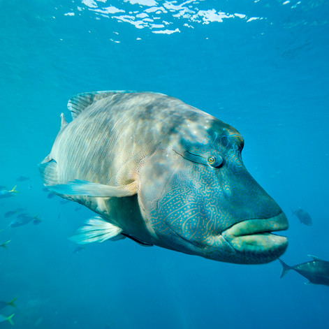 Maggie the Maori Wrasse: Hardy Reef - Great Barrier Reef, Australia