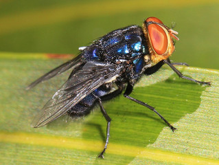 Fighting Flies With Flies: An In-Depth Look at the 2016 Screwworm Outbreak Response in Florida