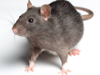 Rat invasion discovered at historic Los Angeles City Hall amid city typhus outbreak
