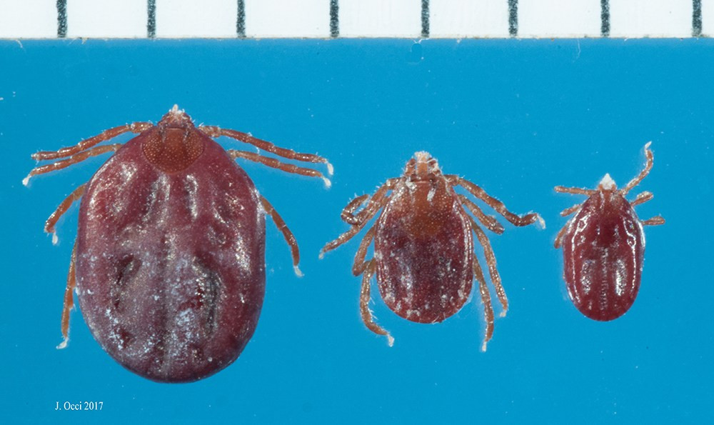 Invasive Tick in New Jersey