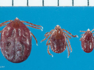 Invasive Tick Persists in New Jersey