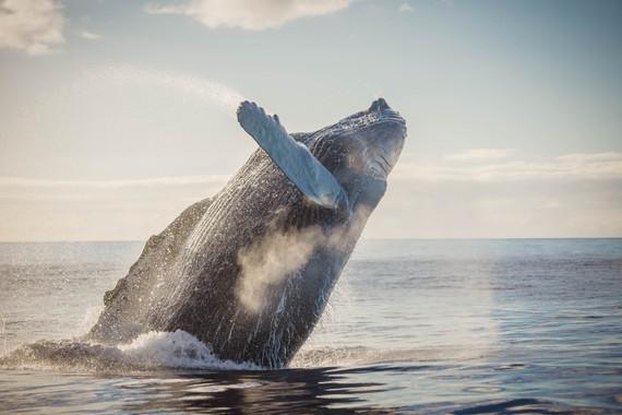 Humpback whale breaching near the cost of Wainea