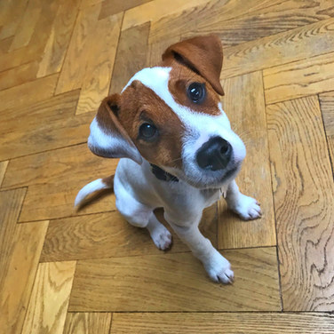 Percy the Harborne Jack Russell