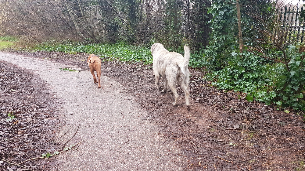 Nelly & Maude with our dog walker on the canals in Edgbaston