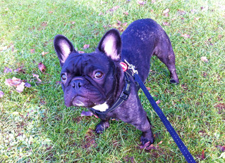 One of our newest clients Handsome Hank out walking in Harborne !
