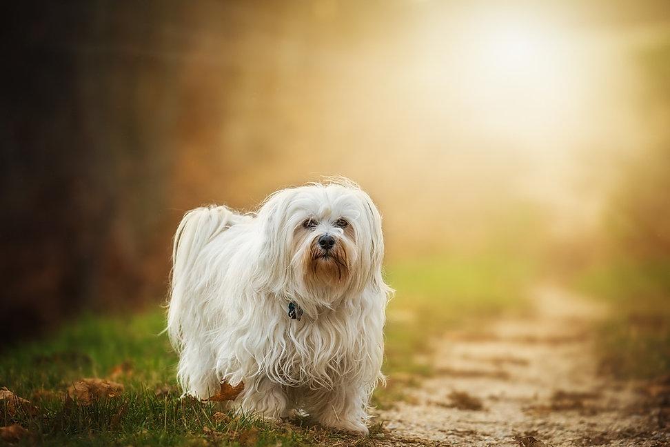 Lapal Dog Walker