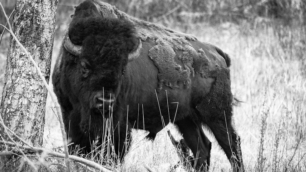 The Bird and the Buffalo B/W