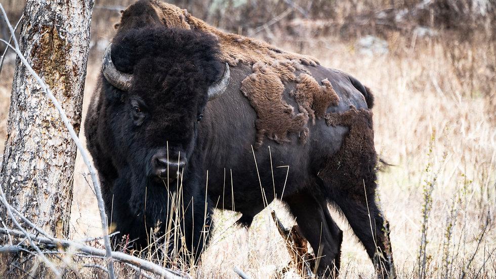 The Bird and the Buffalo