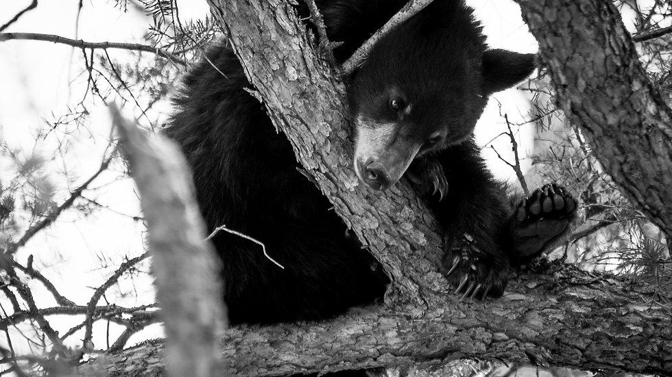 Curious Bear B/W
