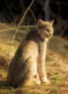 Miller's Outdoors | Trophy Hunts in British Columbia, Canada | Winter Predator Hunts