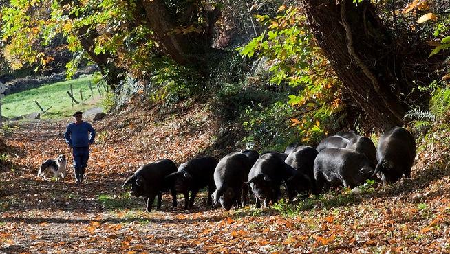 Cerdo Negro de Bigorre 2.jpg