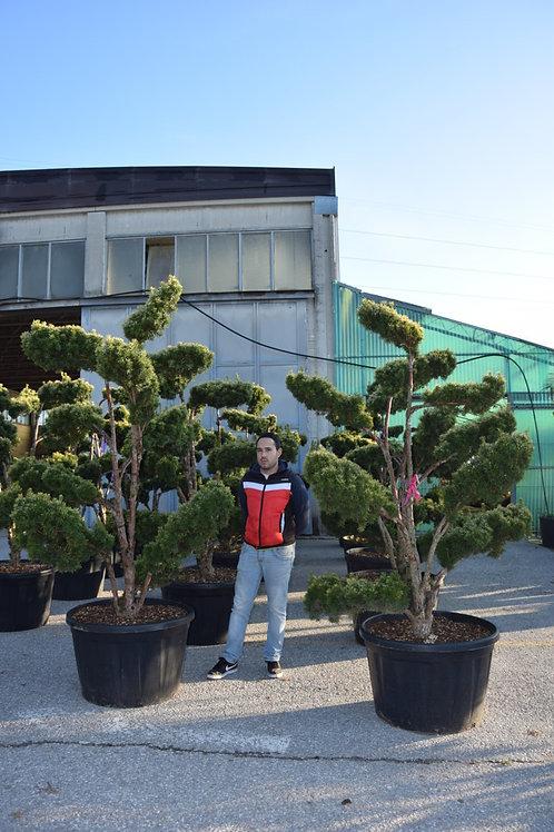Taxus Baccata Davidii Bonsai
