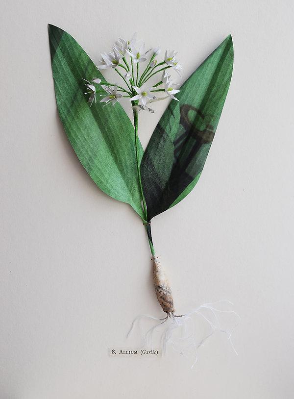 wild garlic, a botanical sculpture, paper flower by artist Kate Kato | Kasasagi