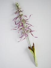 Lizard Orchid (2018)