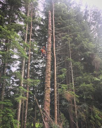 Tree Limbing on Vancouver Island