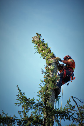 Tree Topping on Vancouver Island