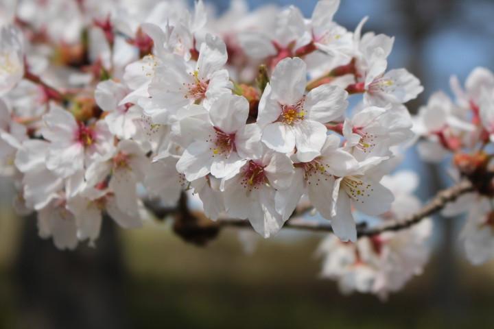 桜 一枚板