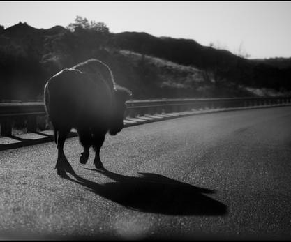 Bison on Road.  2021