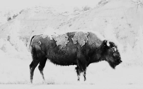 Bison.  2021.