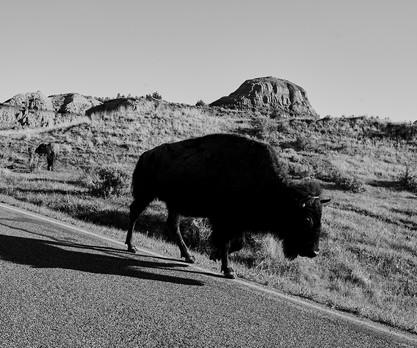 Bison in Morning Light. 2021.