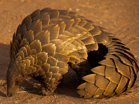 """""""The Night of the Pangolin"""""""