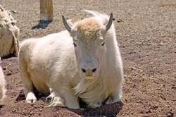White Buffalo small