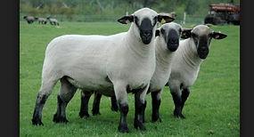 Hampshire-sheep-images.jpg