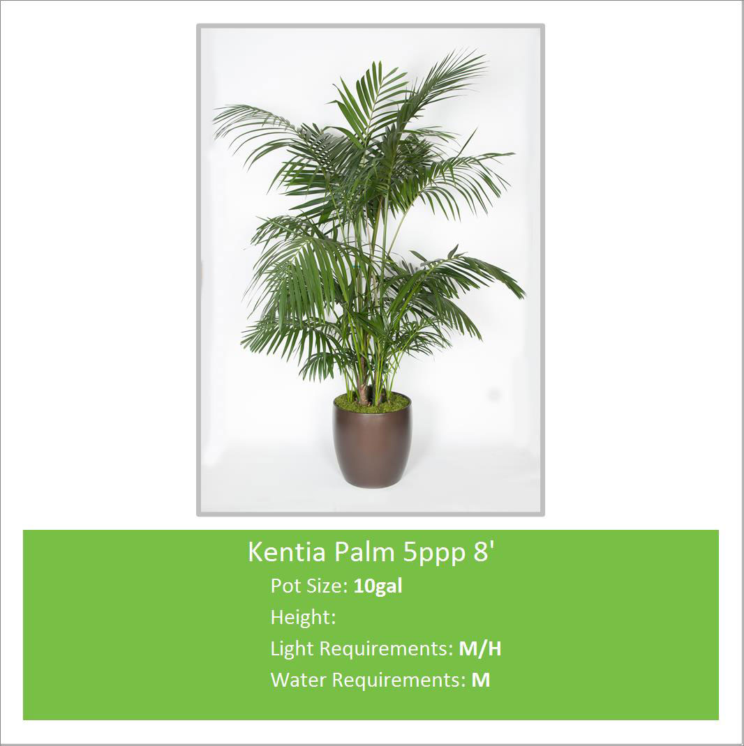 Kentia_Palm_5ppp_8_10galE