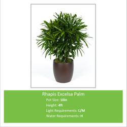 Rhapis_Excelsa_Palm_10inE--