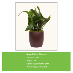 Aspidistra_Green_10inE
