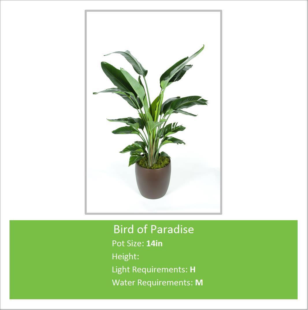 Bird_of_Paradise_14inE