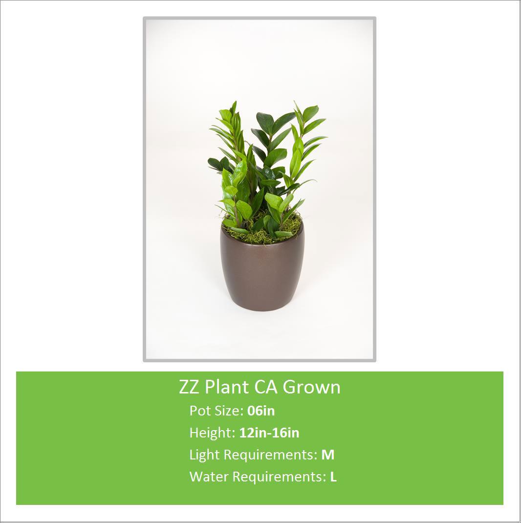 ZZ_Plant_CA_Grown_06inE