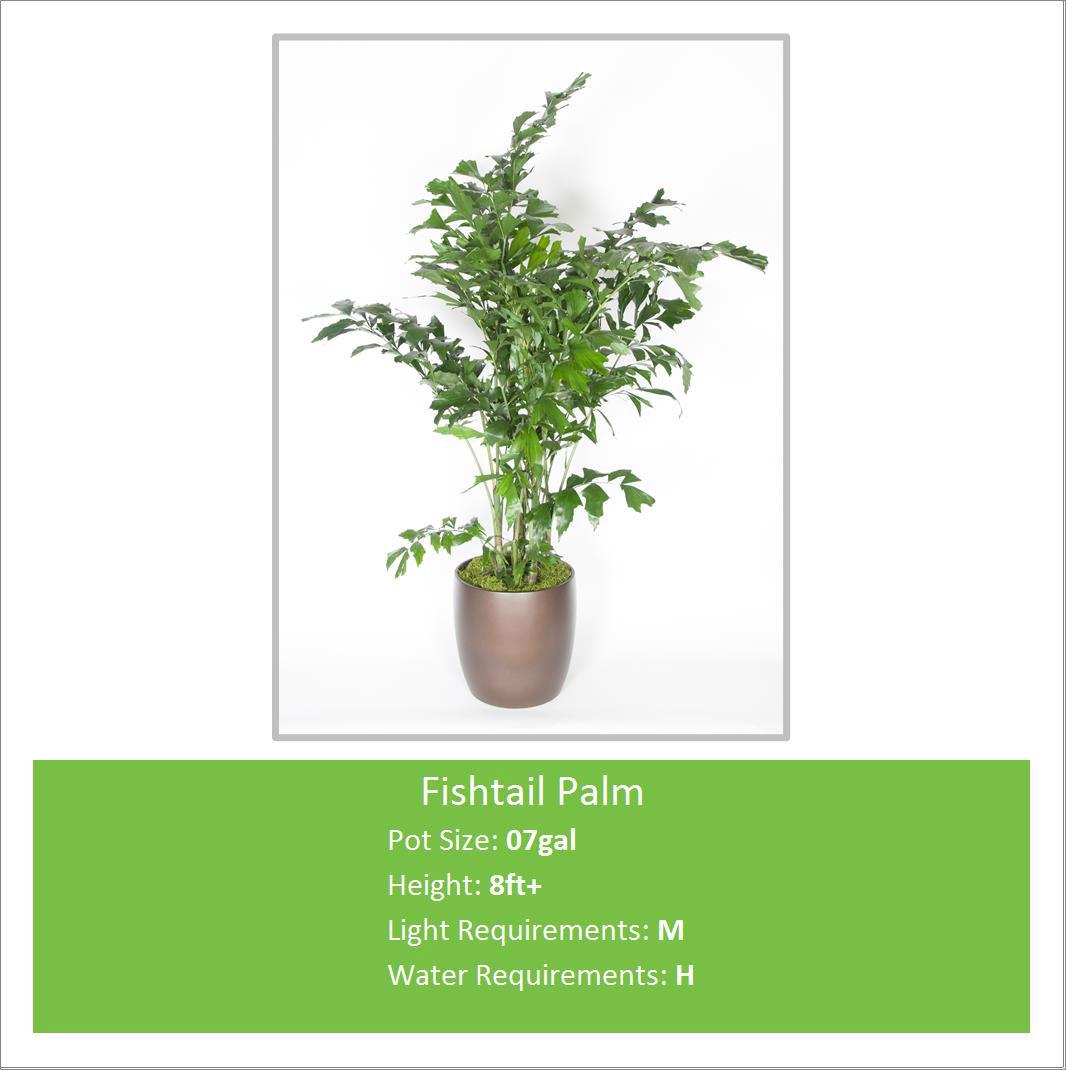 Fishtail_Palm_07galE