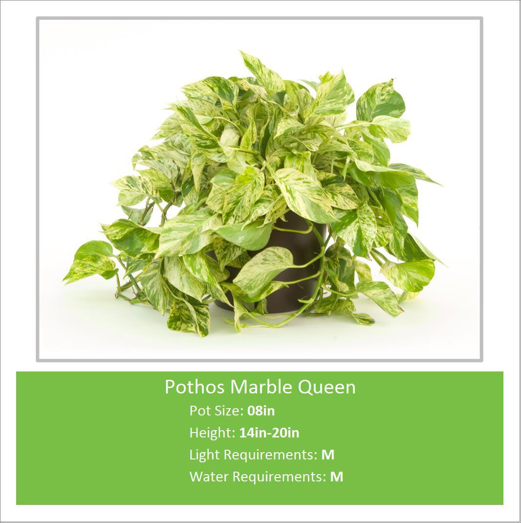 Pothos_Marble_Queen_08inE--