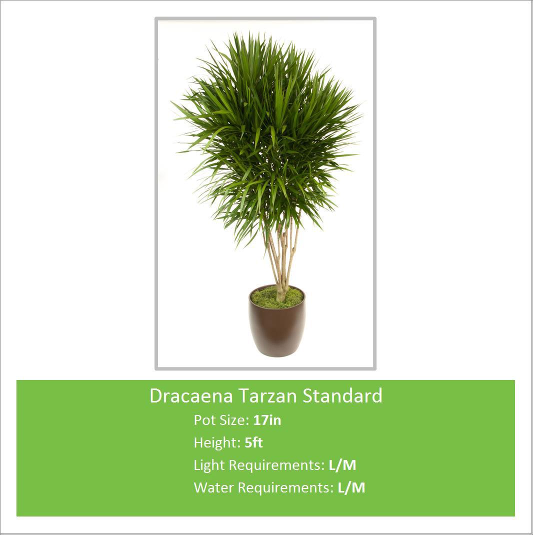 Dracaena_Tarzan_Standard_17