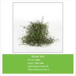 Bridal_Veil_06inE