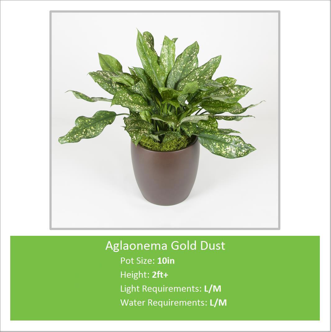 Aglaonema_Gold_Dust_10inE