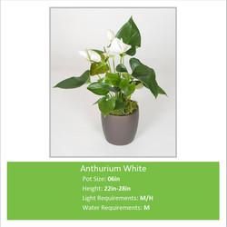 Anthurium_White_06inE