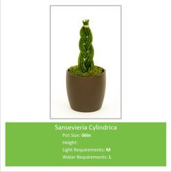 Sansevieria_Cylindrica_06in
