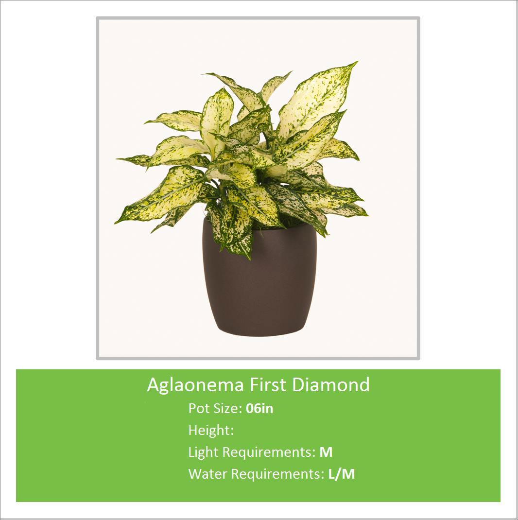 Aglaonema_First_Diamond_06i