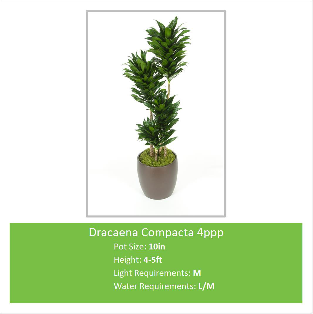 Dracaena_Compacta_4ppp_10in