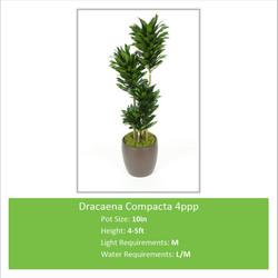 Dracaena_Compacta_4ppp_10in