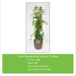 Ficus_Benjamina_Column_3_st