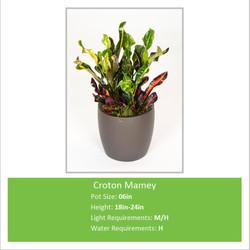 Croton_Mamey_06inE