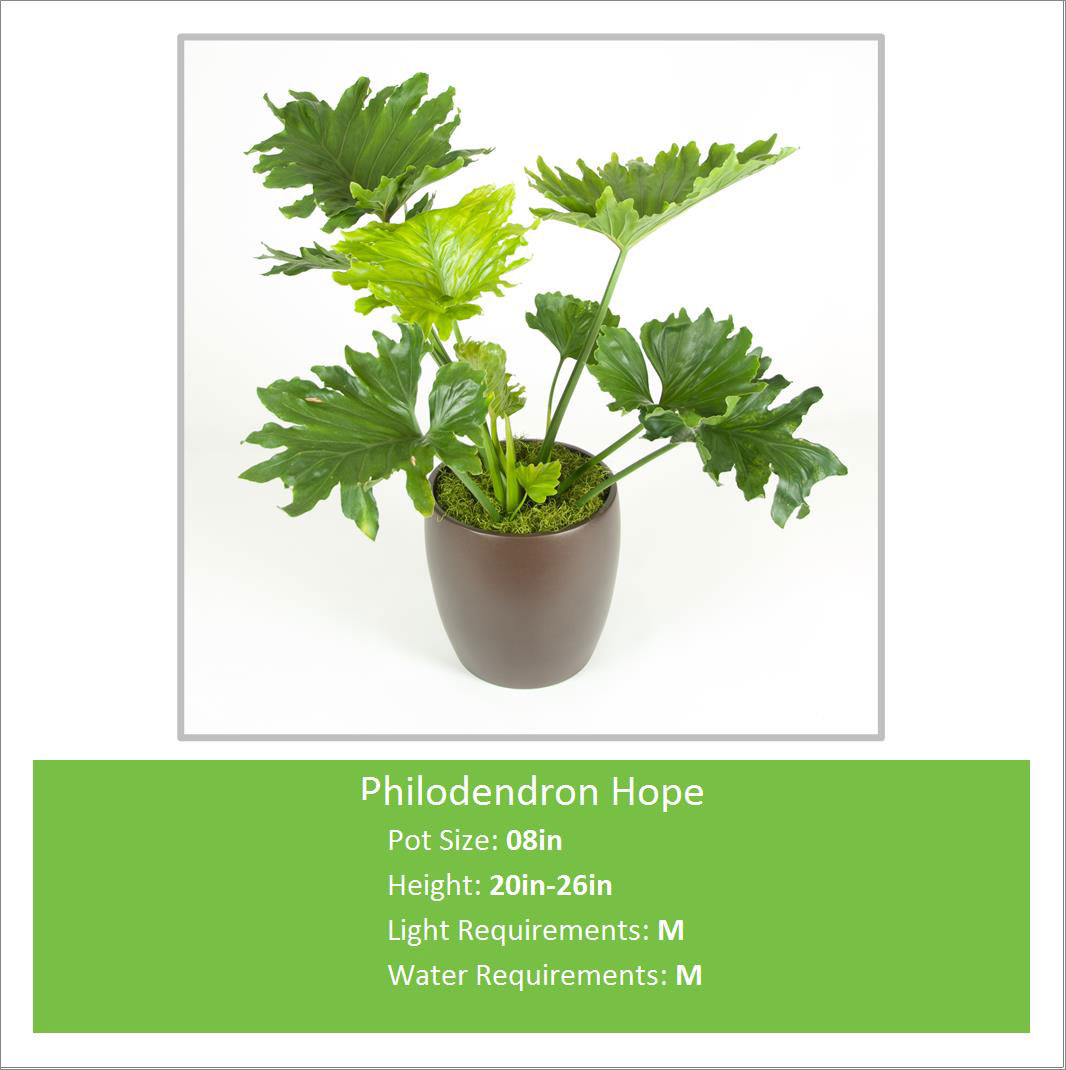 Philodendron_Hope_08inE