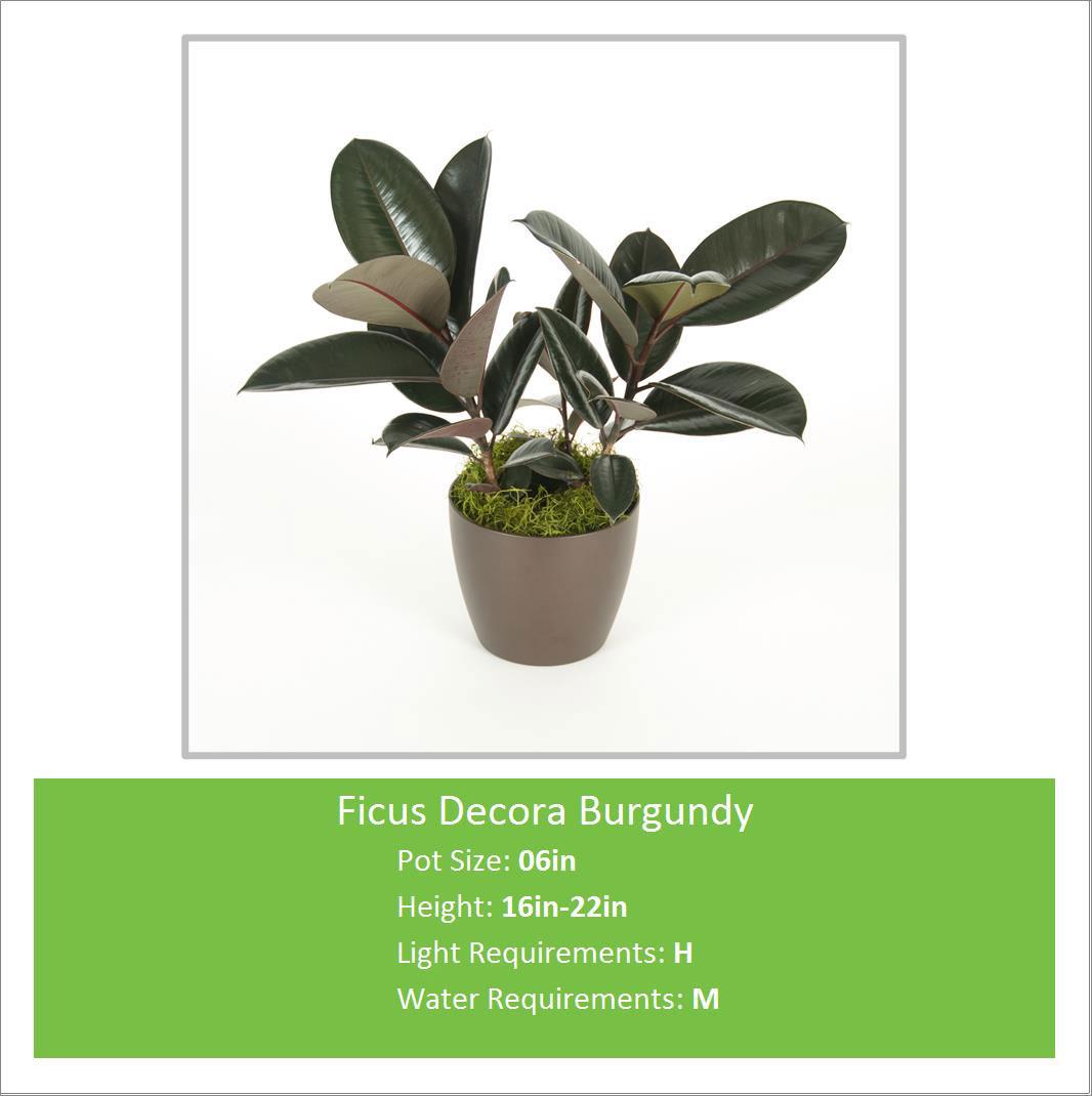 Ficus_Decora_Burgundy_06inE