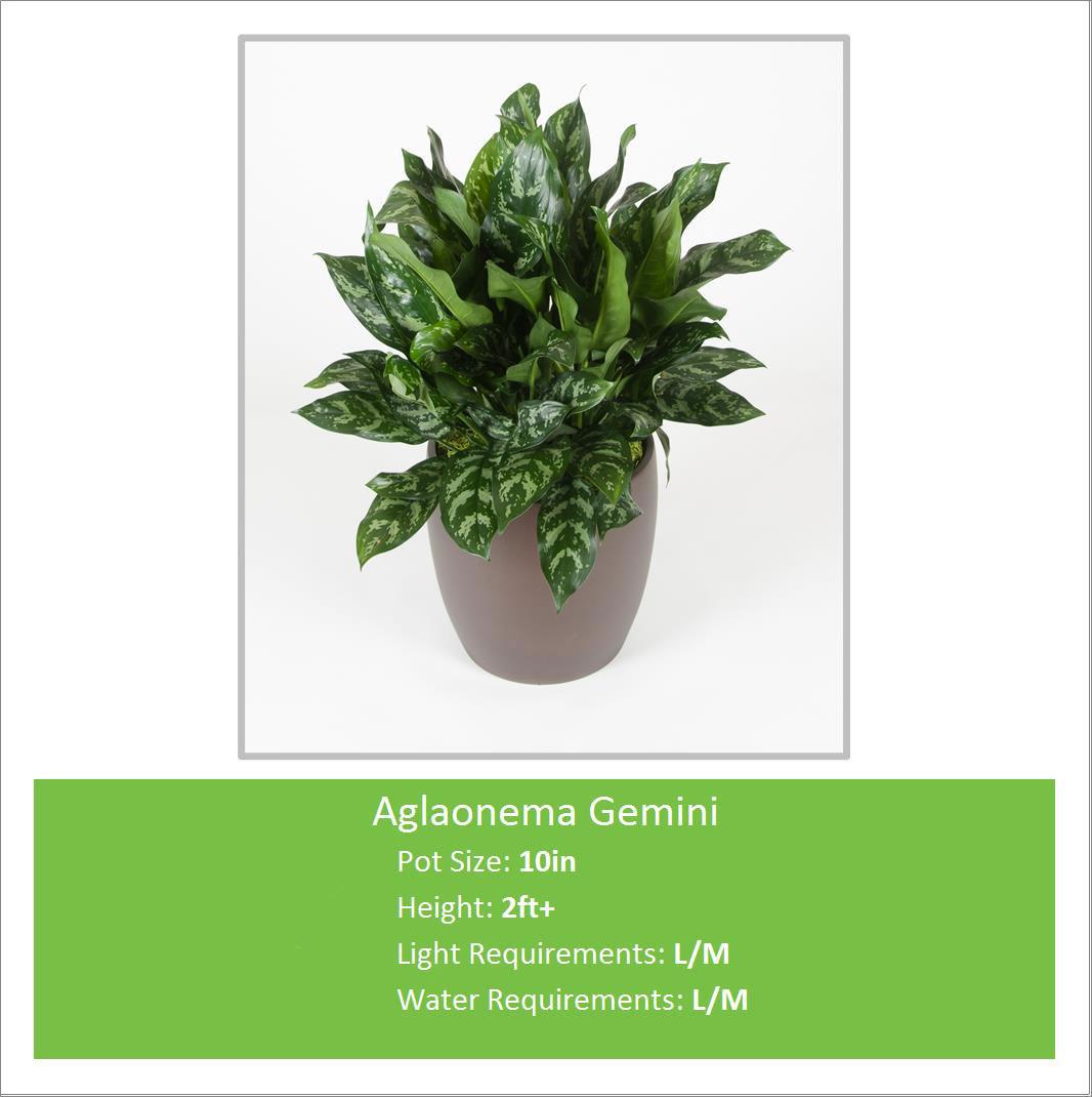 Aglaonema_Gemini_10inE