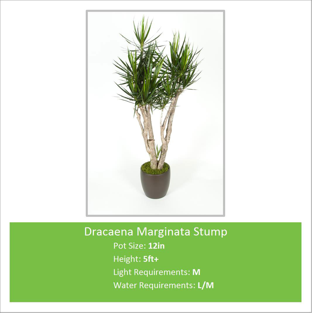 Dracaena_Marginata_Stump_12